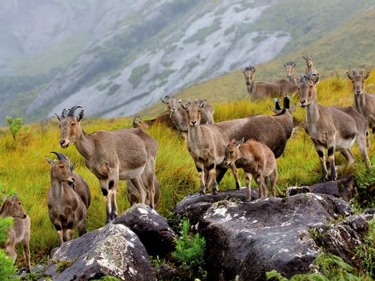 idukki wildlife sanctuary, eravikulam national park