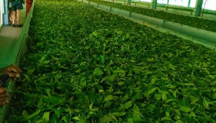 tourist place in wayanad, ripon tea factory